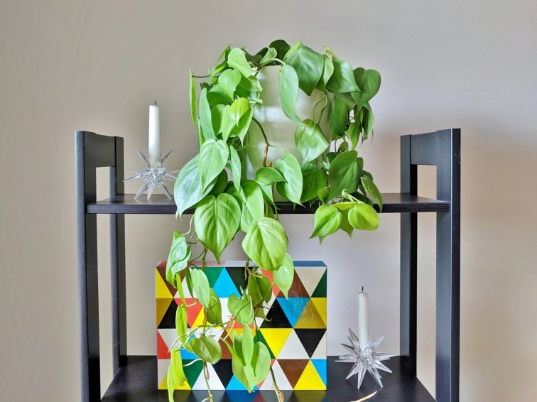 Heart leaf philodendron houseplant