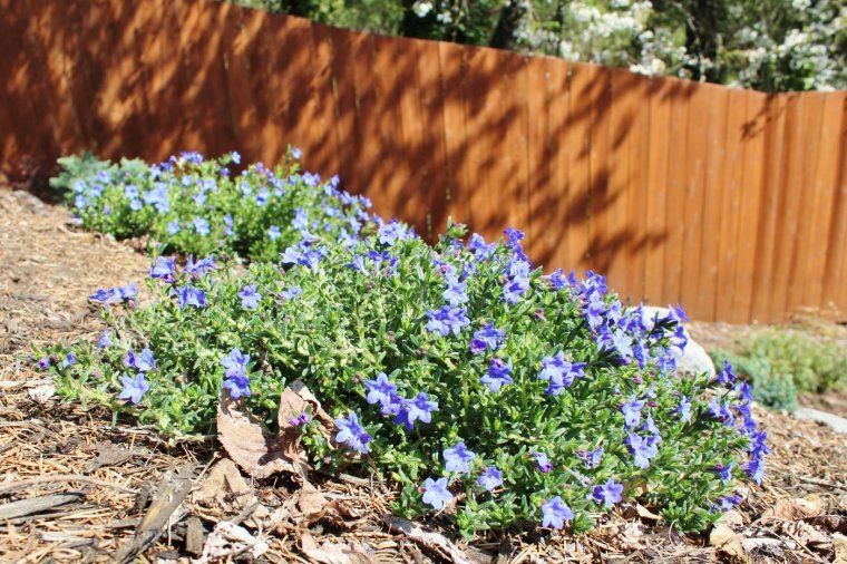 Lithodora flowers blooming in the spring