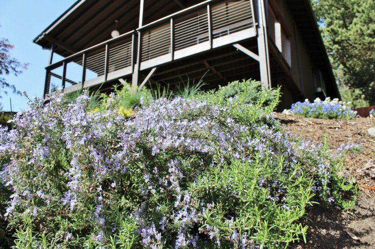 Irene Trailing Rosemary Flower (Rosmarinus Prostratus), a sun-loving herb that blooms in the spring