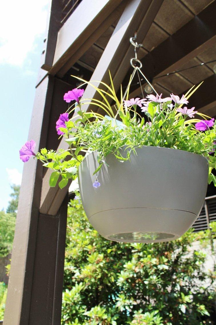 Petunia, lobelia and African daisy annuals