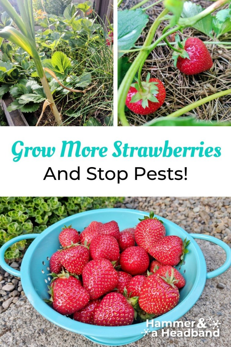 How to grow more strawberries and stop pests