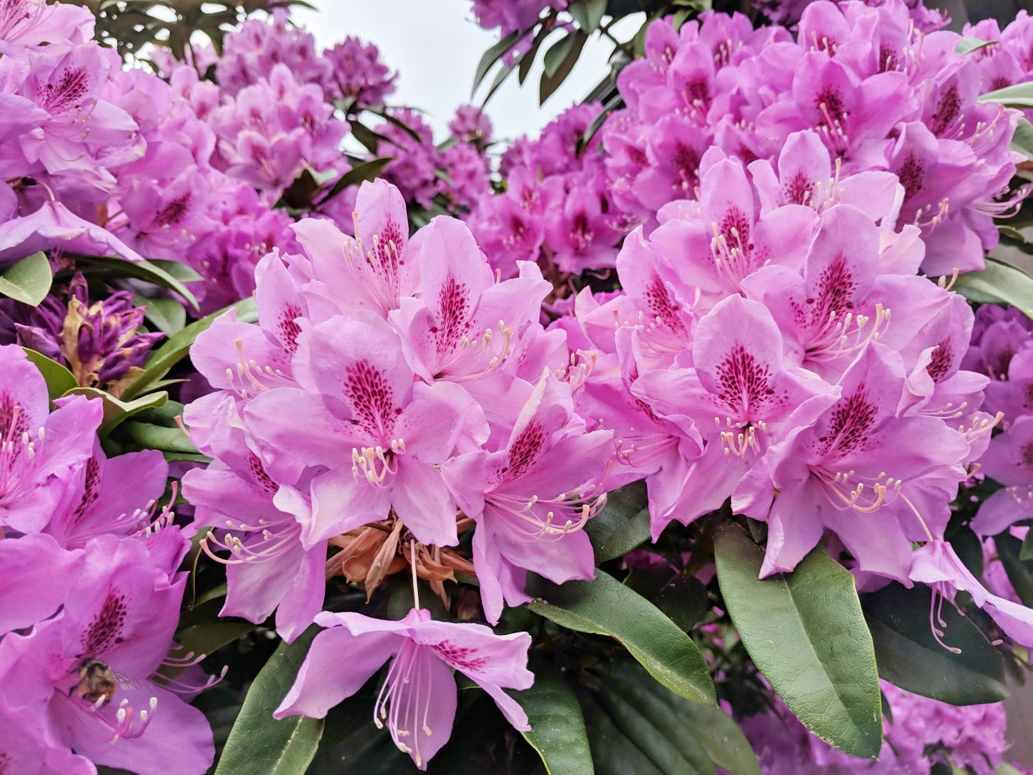 Pink rhododendron shrub in backyard landscaping
