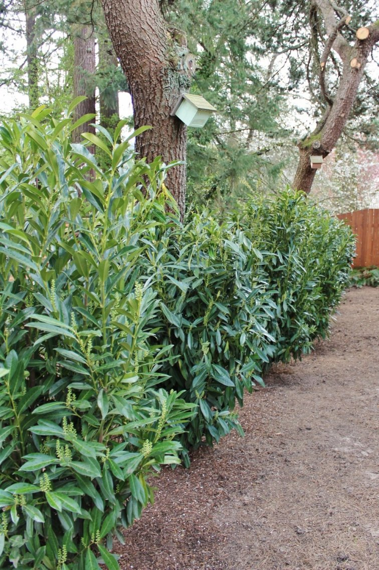 Fast-growing laurel privacy hedge