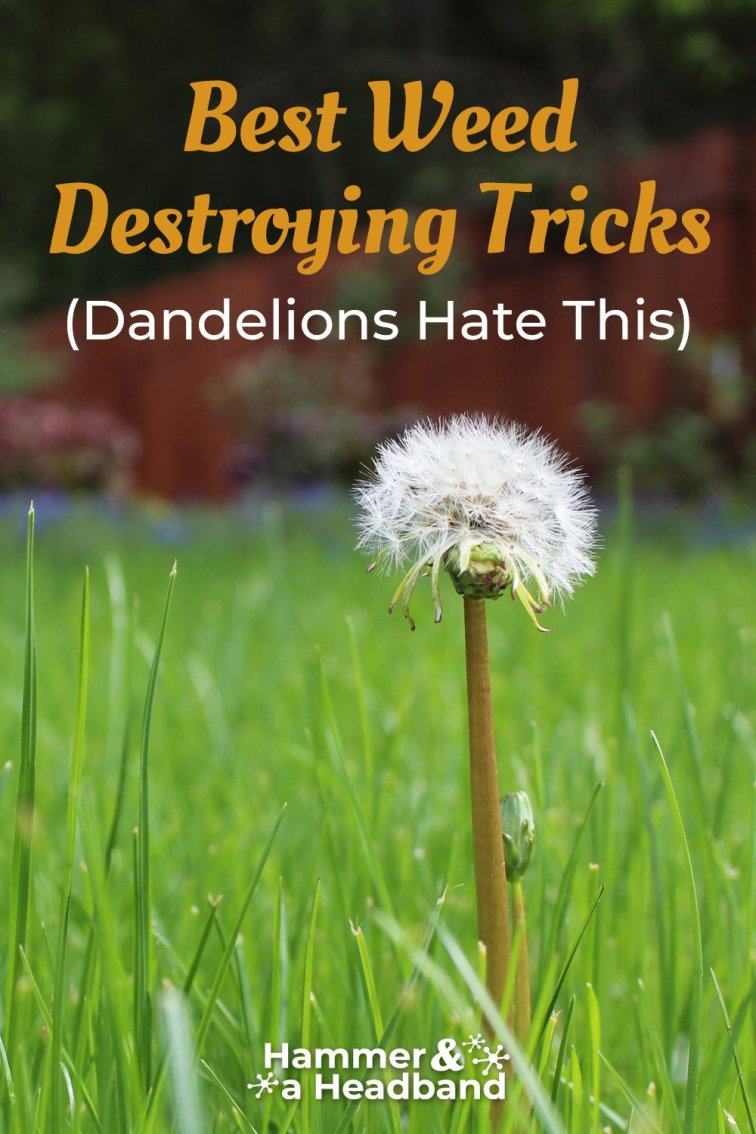 Best weed destroying tricks that dandelions hate