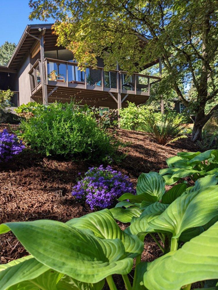 Hostas and bellflowers in shady woodland garden