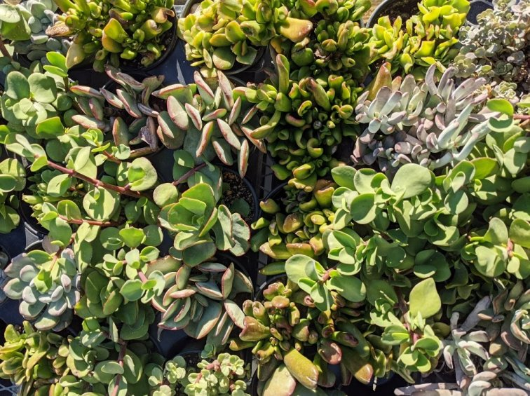 Tray of succulents for sale