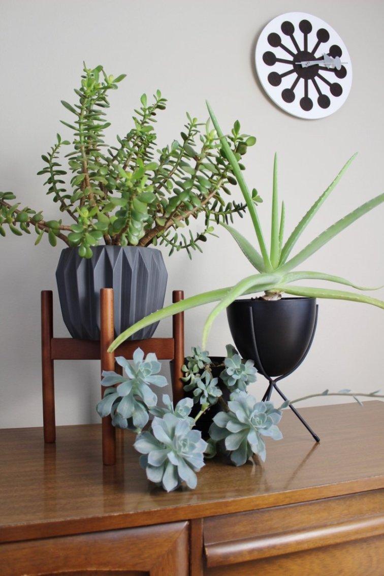 Succulent display including aloe vera and jade plants