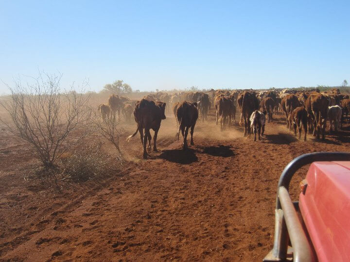 We drove slowly behind the cattle while it was lead to the feeding area