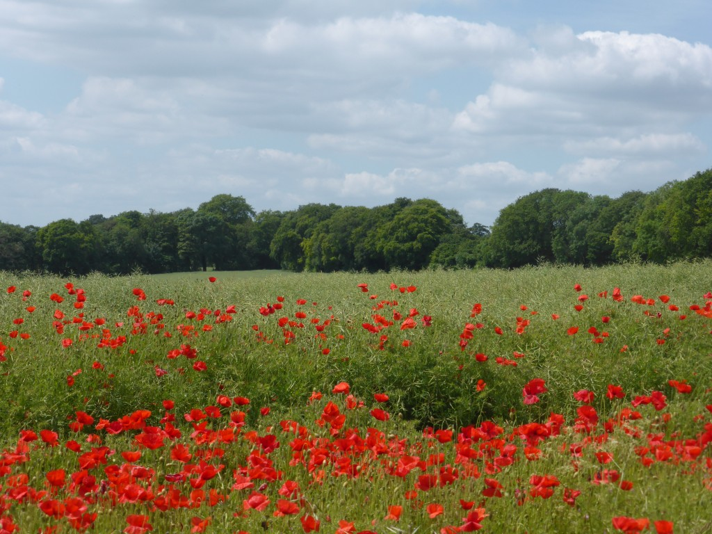 Poppy fields Cheriton