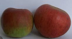 Hampshire Apples the Hambledon Deux-ans
