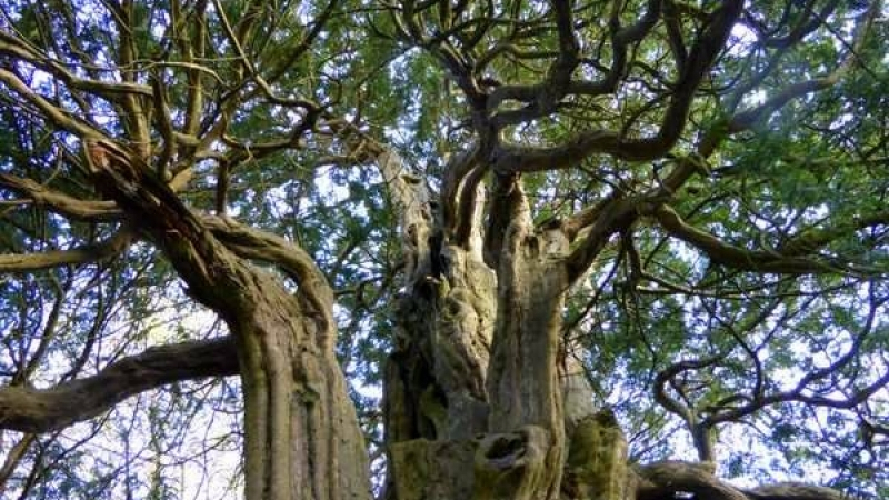 Ancient trees of Hampshire