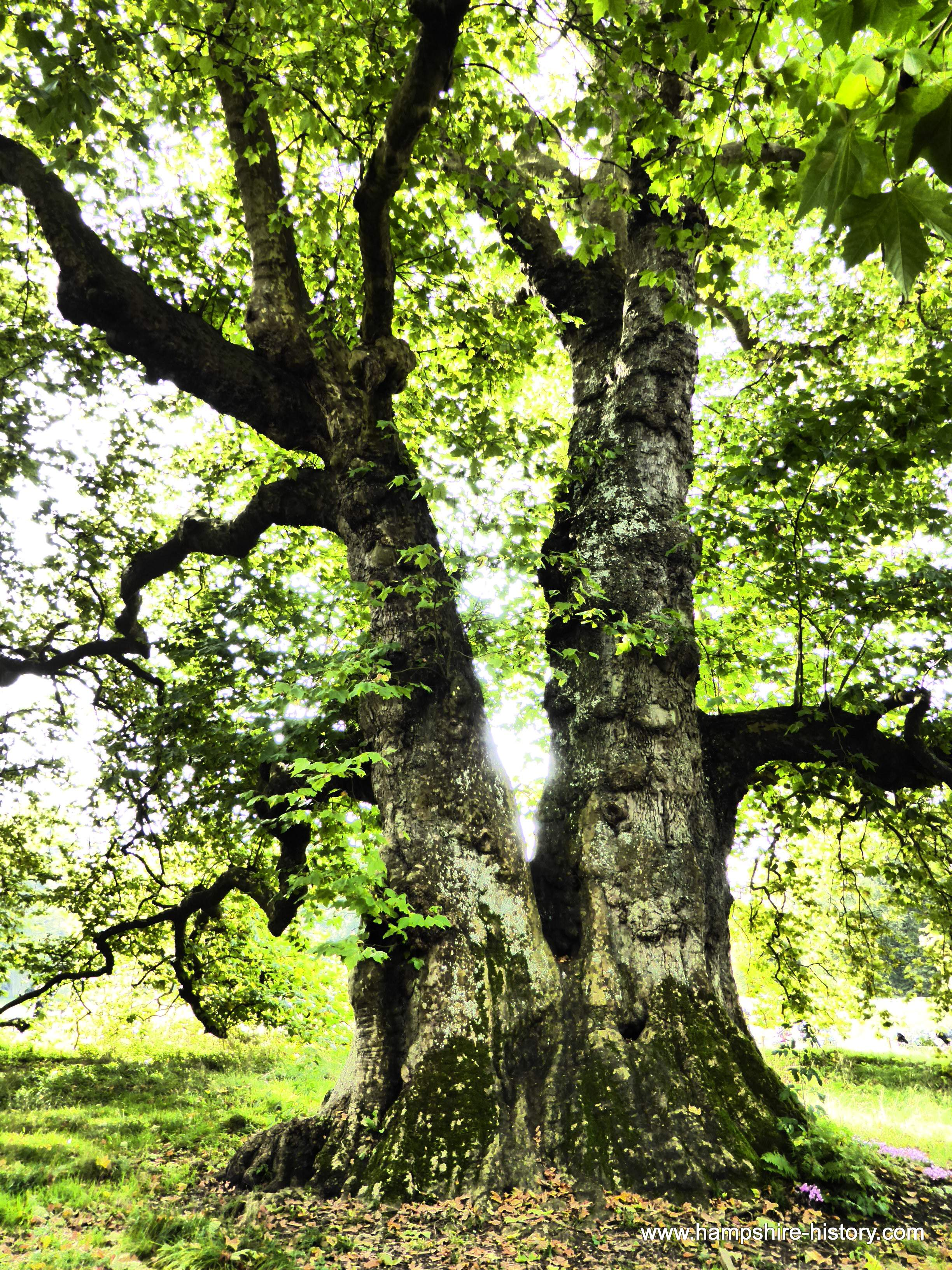 The Great Plane Tree of Mottisfont