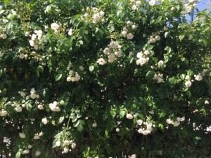 垣根のバラは今が満開