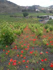 the_valley_and_the_volcano_volcanic wine tour red poppy
