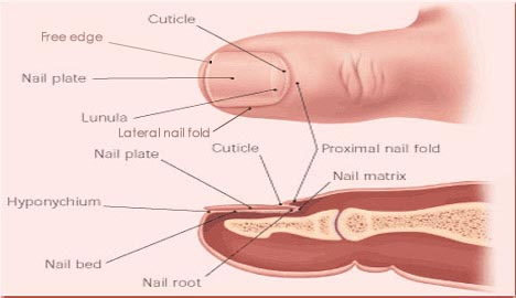 The nail unit describes the anatomy of your fingernail.