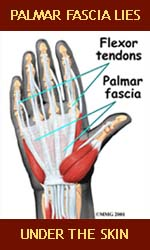 Palmar fascia lies under the skin.