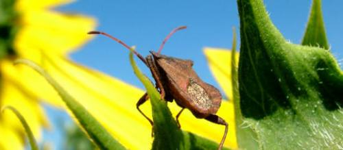 Stink Bugs and stink bug traps