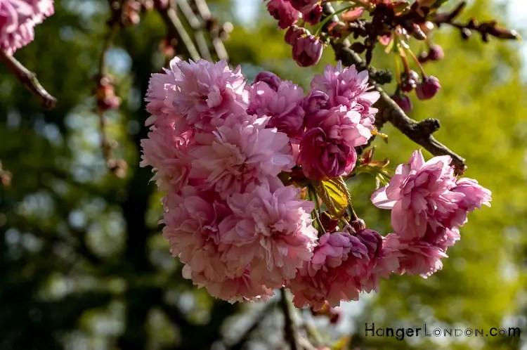 Pink cherry Blossoms Holland Park