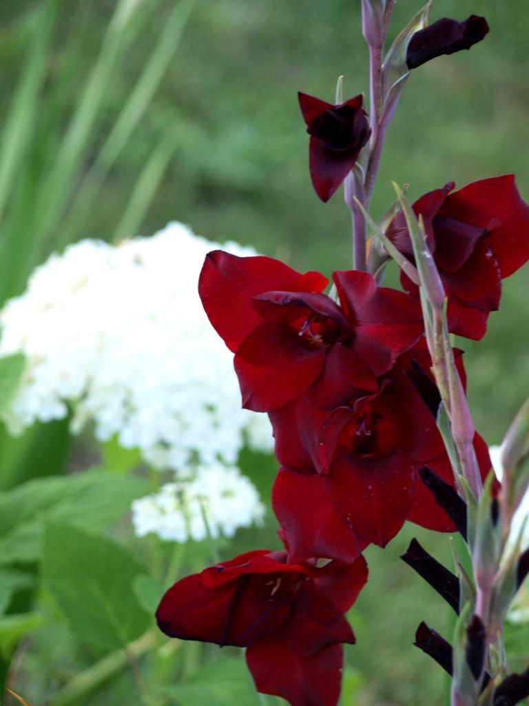 rote Gladiole mit Hortensie
