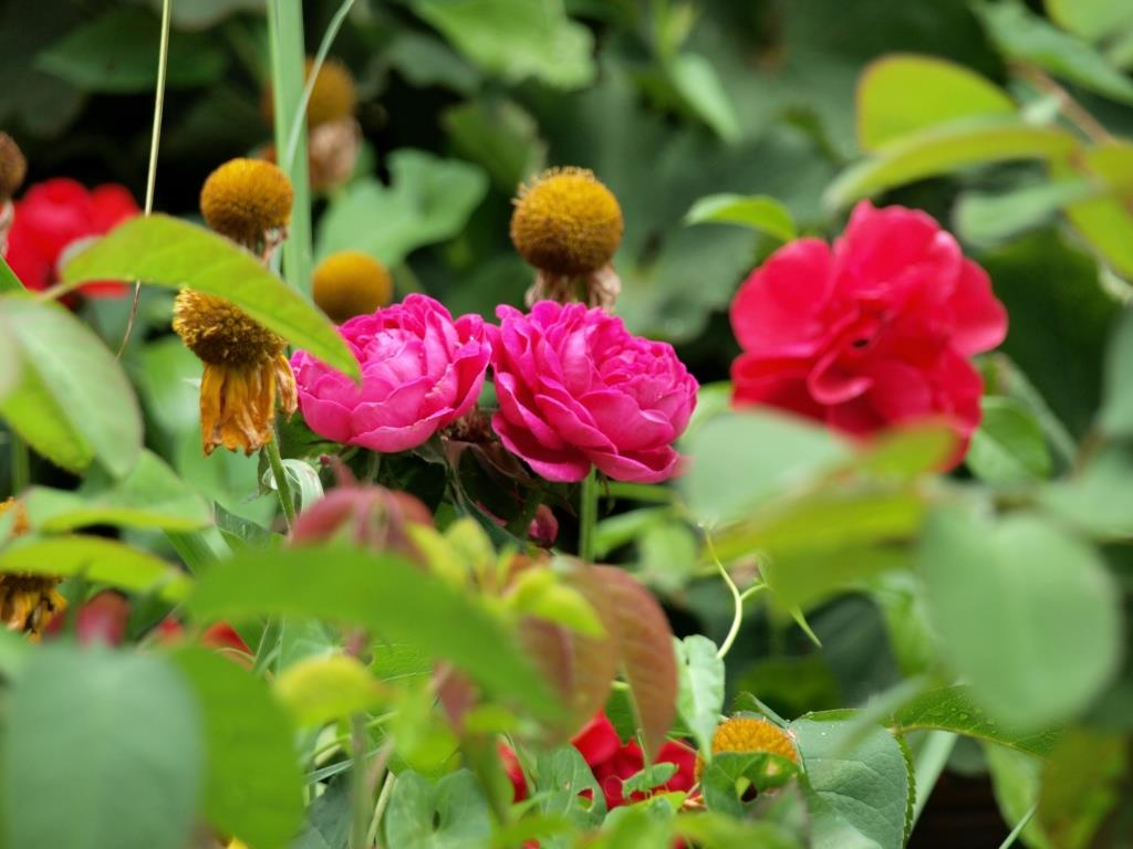 Sonnenbraut und Rosen