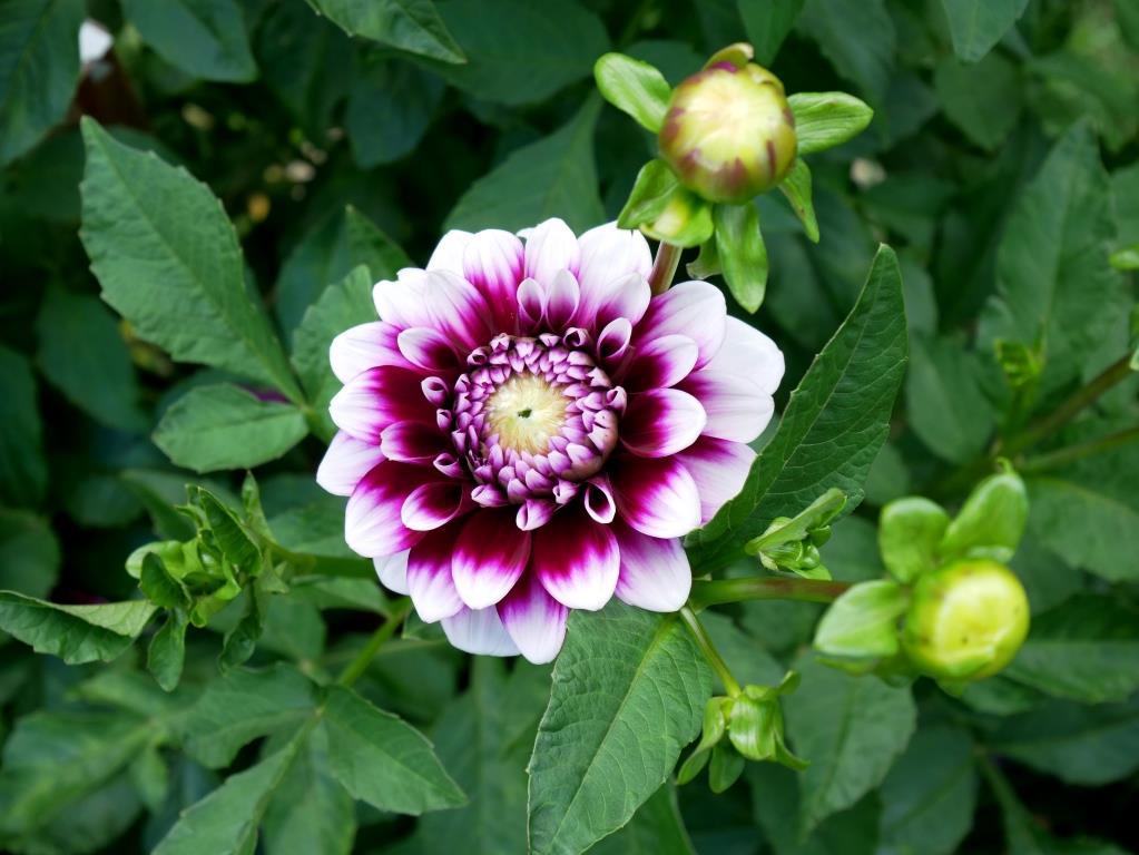 Dahlien in violett und weiß
