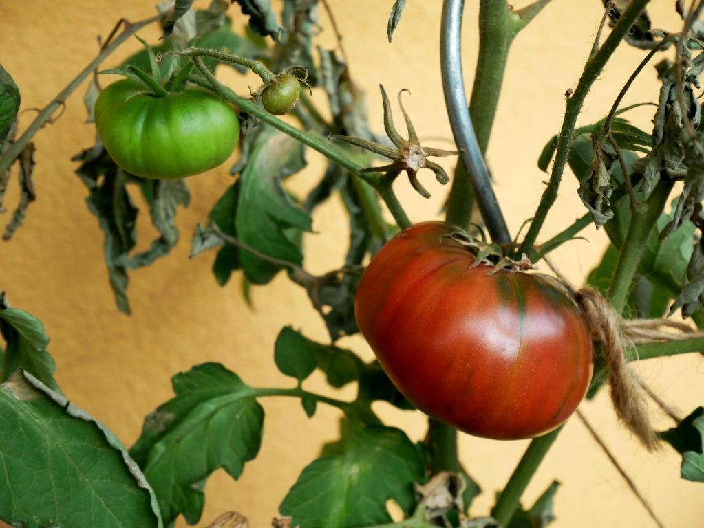 Die Tomate hat sich von der Blütenendfäule erholt