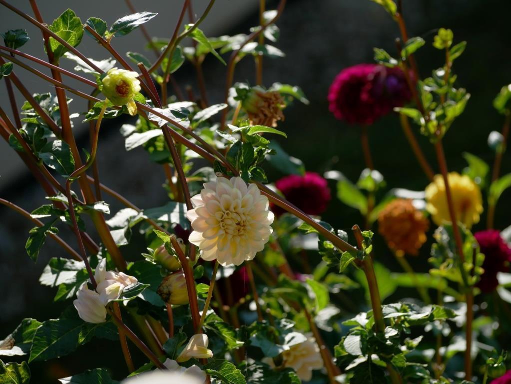Dahlien im Herbst