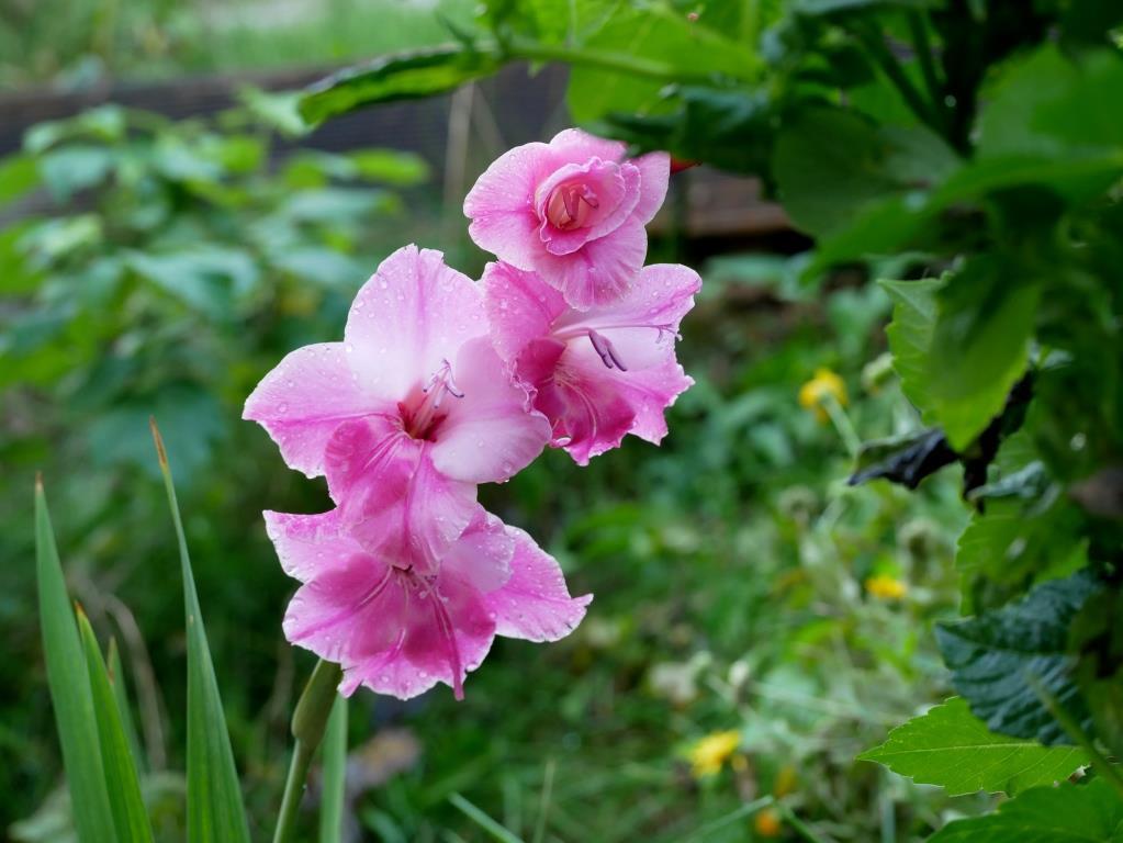Gladiolen zwischen Kräutern