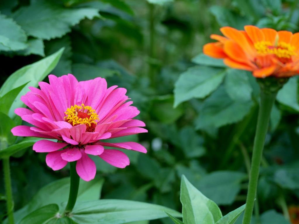Bunte Zinnien im September-Garten