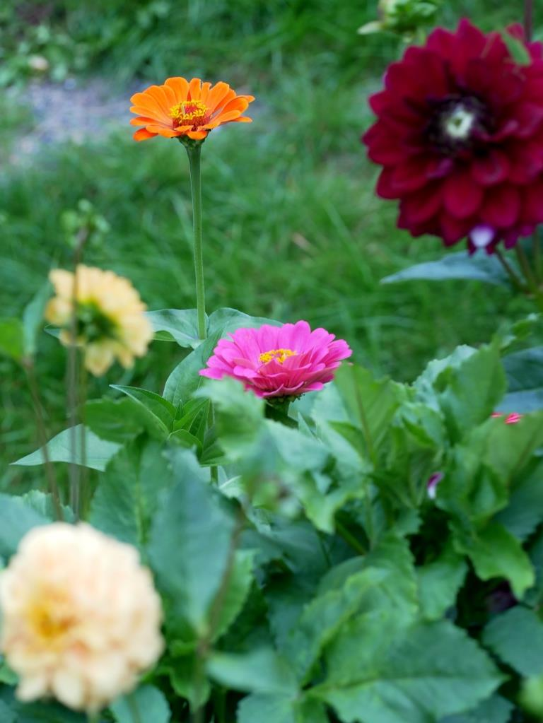 Dahlien und Zinnien im September-Garten