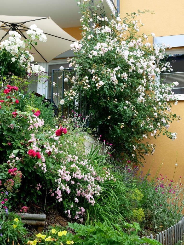 Viele Rosen sind unglaublich dankbar und benötigen wenig Pflege