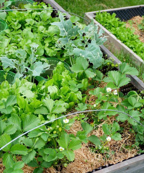 Viel Gemüse im Hochbeet dank Mischkultur