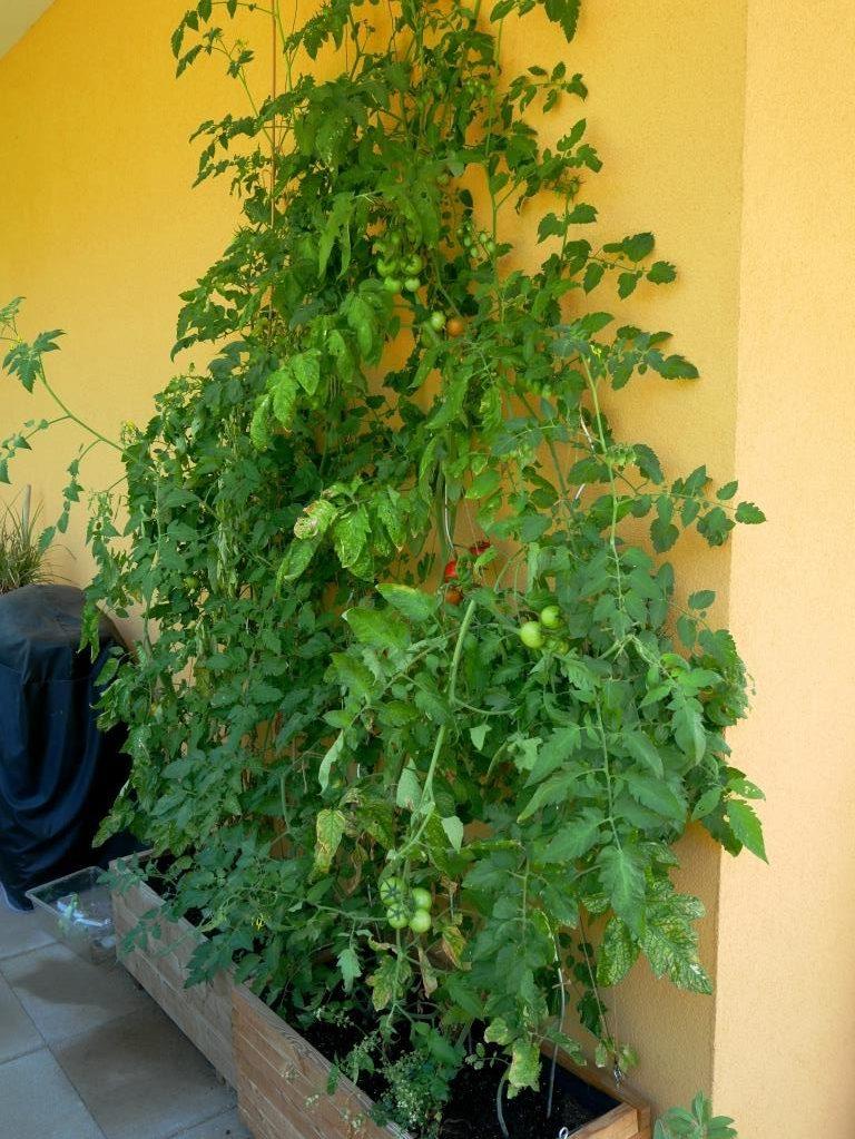Stabile längliche Tomatenkisten mit Rankhilfe