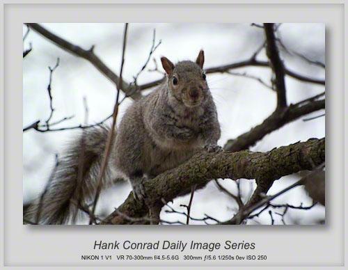 3/31/2013 Gray Squirrel