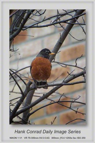 4/02/2013 Suburban Robin