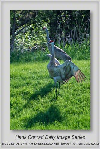 4/14/2013 Sandhill Cranes