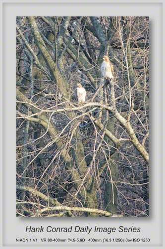 4/23/2013 Red-tailed Hawk Pair