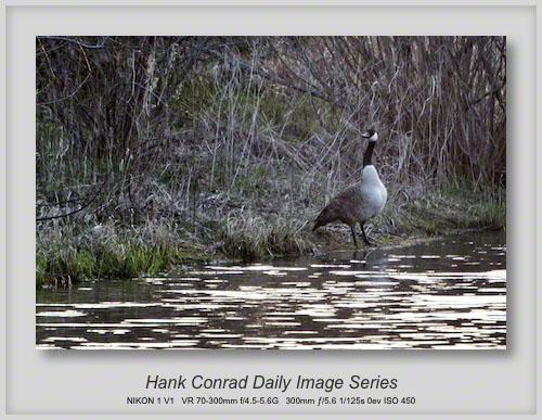 4/26/2013 Canada Goose