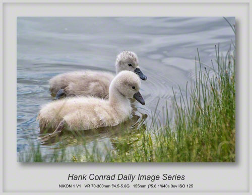 5/09/2013 Mute Swan Cygnets