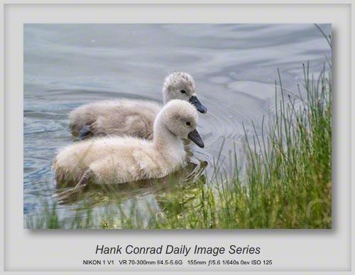 6/09/2013 Mute Swan Cygnets