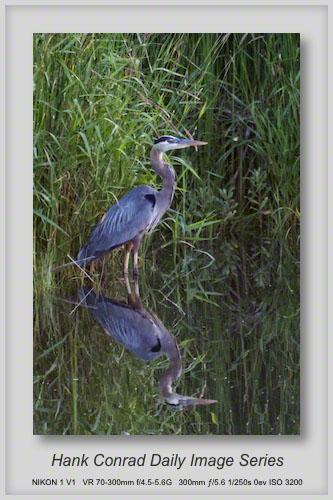 6/16/2013 Great Blue Heron