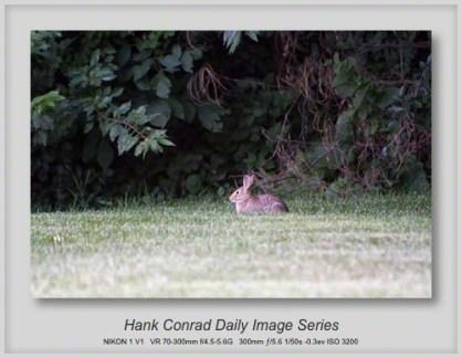 8/08/2013 White-tailed Rabbit