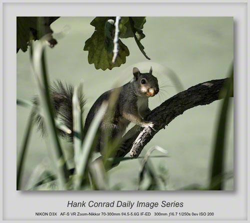 8/29/2013 Hidden Grey Squirrel