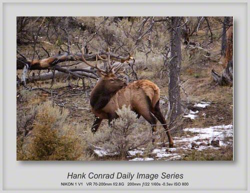 10/17/2013 Yellowstone Elk