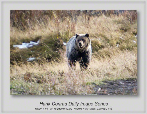10/21/2013 Yellowstone Silvertip Grizzly