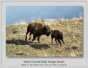 11/08/2013 Running Bison