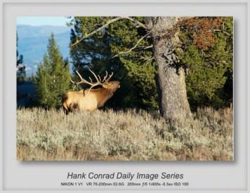 11/16/2013 Bugling Bull Elk