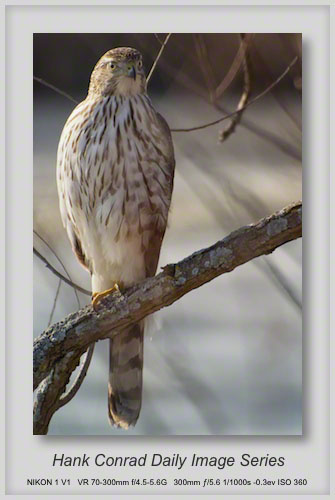 12/03/2013 Cooper's Hawk