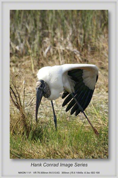 1/23/2014 Wood Stork