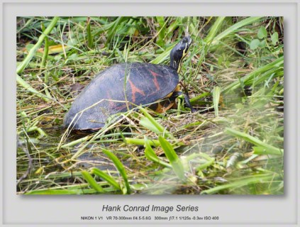 1/29/2014 Florida Redbelly Turtle